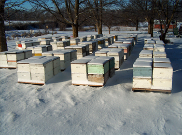 A view of our hives being collected, in preparation for the trip to california, for pollination of almond trees.